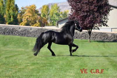 Friesian Horses For Sale – Dalosto Farms, LLC